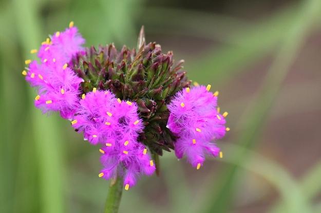 Flower Cyanotis speciosa IMG_2366
