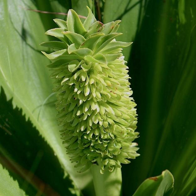 Flower Eucomis autumnalis IMG_2460