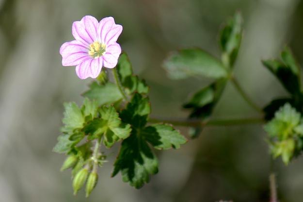 Flower Geranium schlecteri IMG_2473