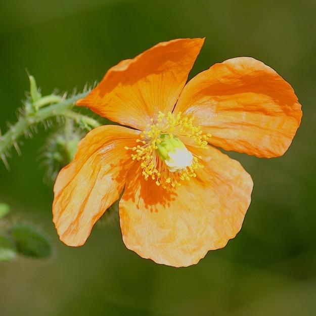 Flower Papaver aculeatum IMG_2477