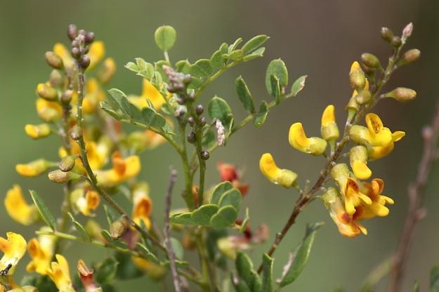 Flower Pearsonia sessilifolia IMG_2396