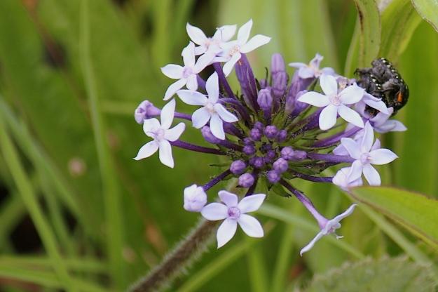 Flower Pentanisia augustifolia IMG_2389