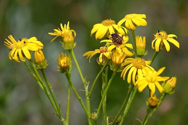 Flower Senecio isatideus IMG_2378