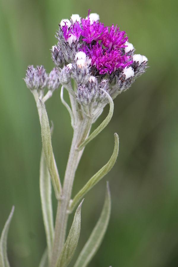 Flower Vernonia natalensis IMG_2402