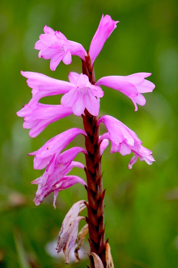 Flower Watsonia lepida IMG_2384