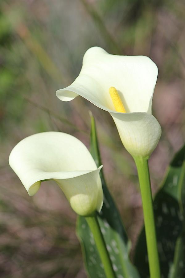 Flower Zantedeschia albomaculata IMG_2436