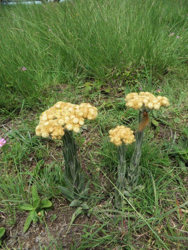 Helichrysum appendiculatum 1