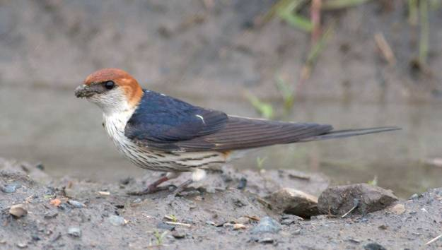 IMG_4161_2966_Boston_Greater-Striped-Swallow