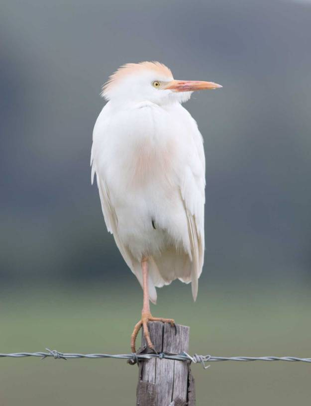 IMG_4170_2975_Boston_Cattle-Egret