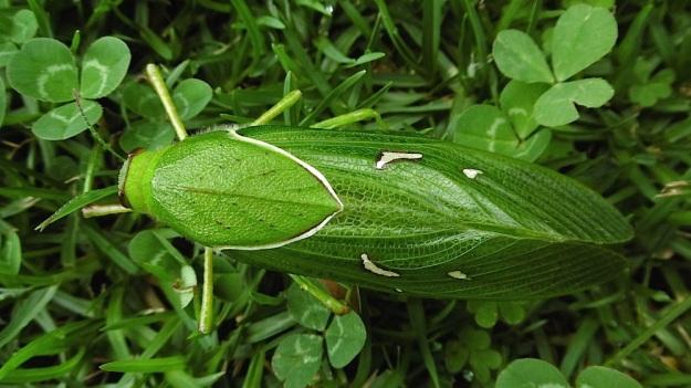 Insect Bladder Grasshopper Pneumora inanis P1020211
