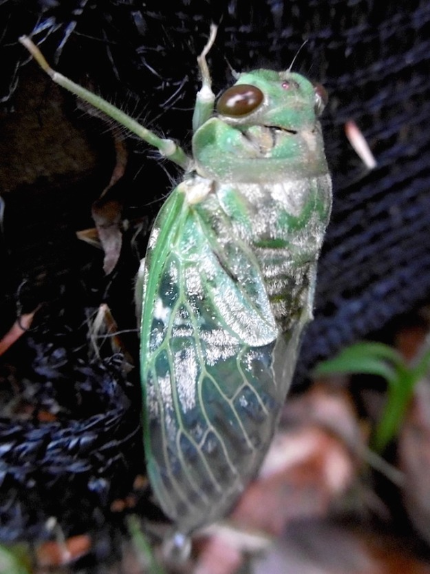 Insect Cicada P1010985