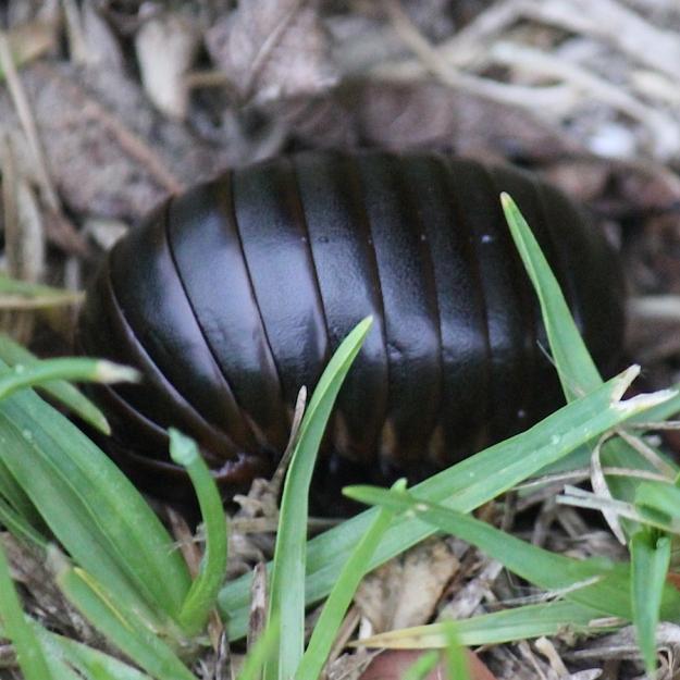 Invertebrate Pill millipede IMG_2347