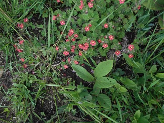 jamesbritennia breviflora