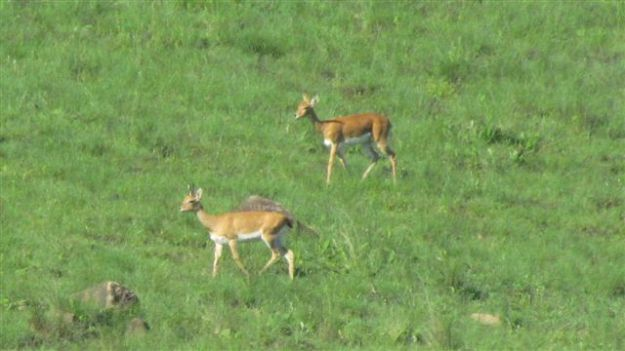 Mom and male baby oribi running across the hill