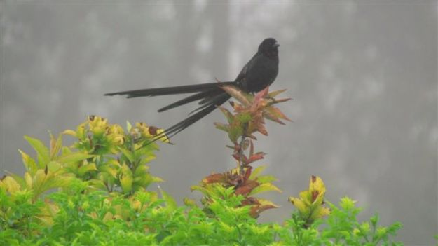 our only red collared  widow bird left