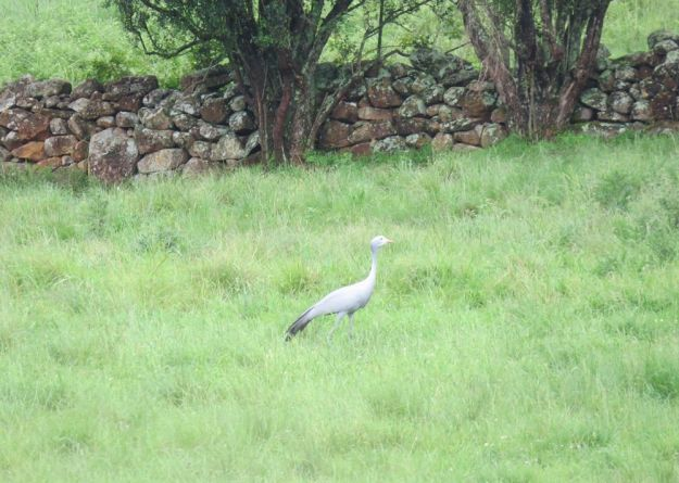 r December blue crane