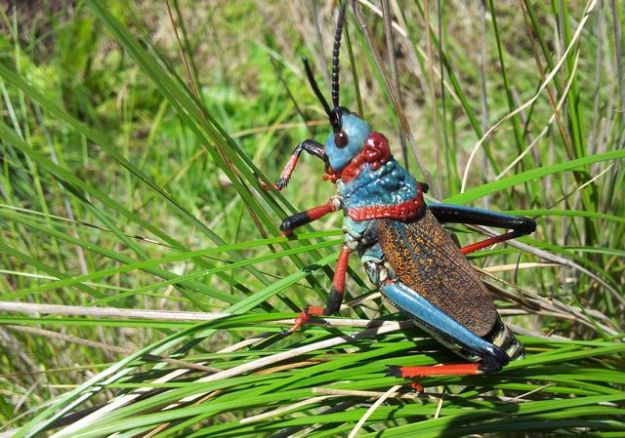 Red and Blue Grasshopper
