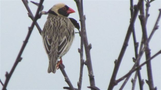 red billed male quelea