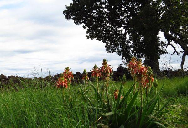 Aloe boylei
