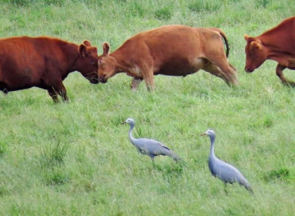 blue cranes cattle