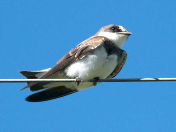 Banded Martin