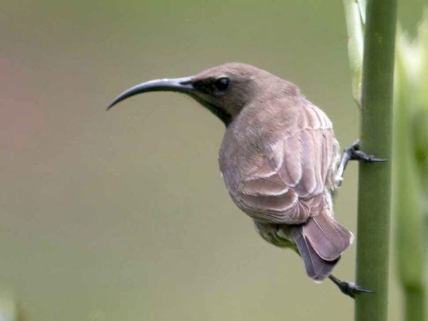 Amethyst Sundbird