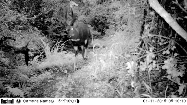 Bushbuck 1