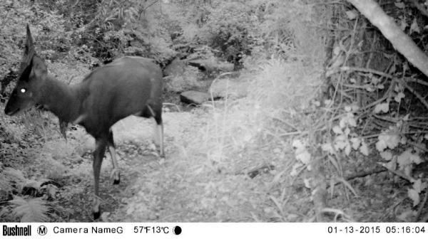 Bushbuck 2
