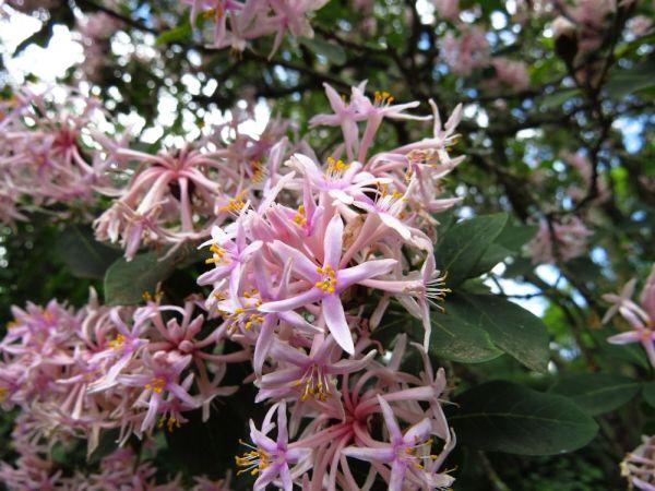 dais cotonifolia