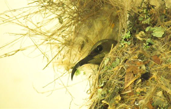 Female amethyst sunbird sitting on egg