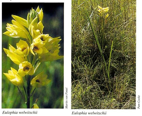 Flower Orchid Orthochilus (Eulophia) welwitschii