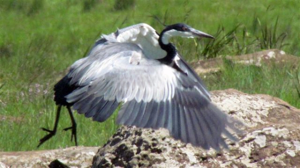 Black-headed heron on takeoff