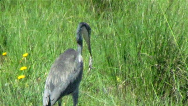 Black-headed heron with lizard