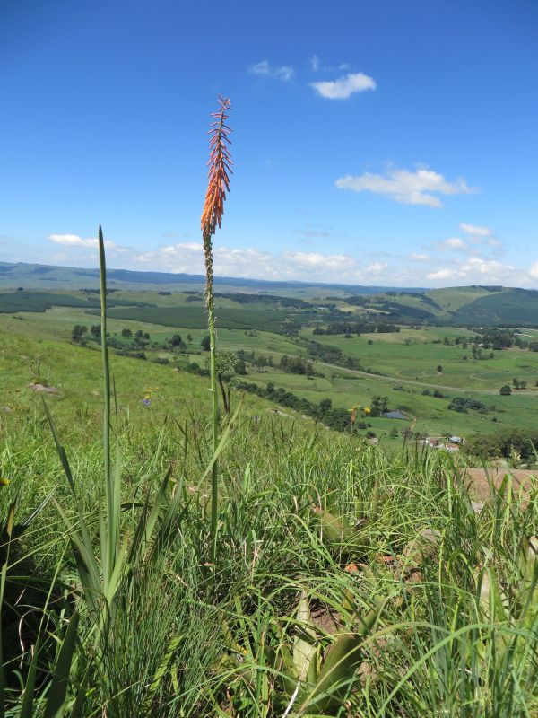 Kniphofia on Stormy Hill ridge