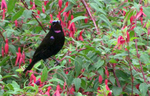 Male black sunbird