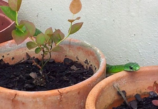 Natal Green Snake slithering between the pot plants