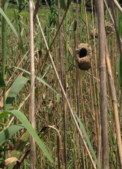 Nests in Kev's vlei - look at the workmanship of the Thick Billed Weaver.