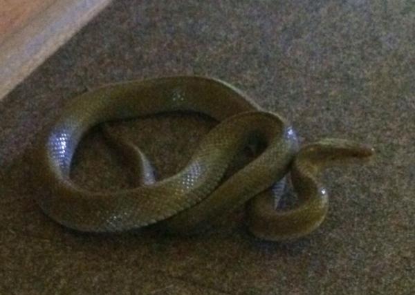 Olive House Snake