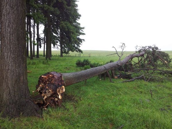 Pine tree blown over on the farm.