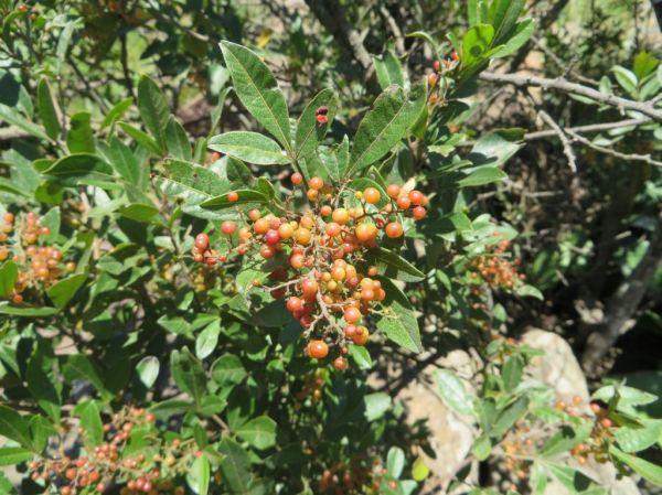 Rhus berries