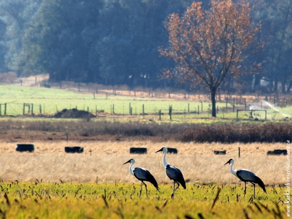 A pair of Wattled Cranes with their offspring on Gartmore Farm.