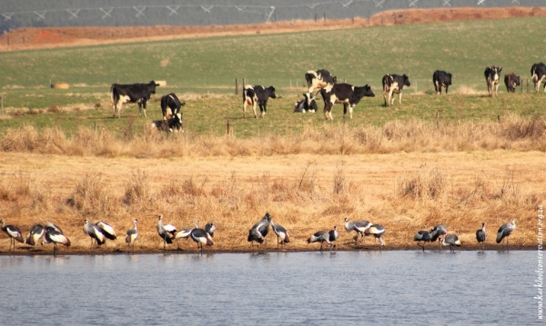 Grey Crowned Cranes on Loskop farm in the Karkloof
