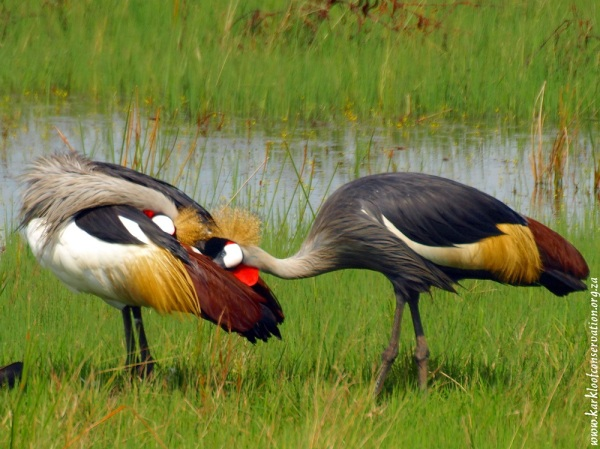 Grey Crowned Cranes gossiping - By Patrick Cahill