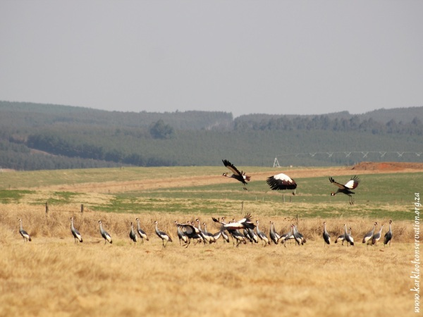 Large flock of about 50 to 60 Grey Crowned Cranes are often seen in the Karkloof.