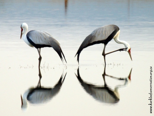 Pair of Wattled Cranes at the Karkloof Conservation Centre - By Patrick Cahill