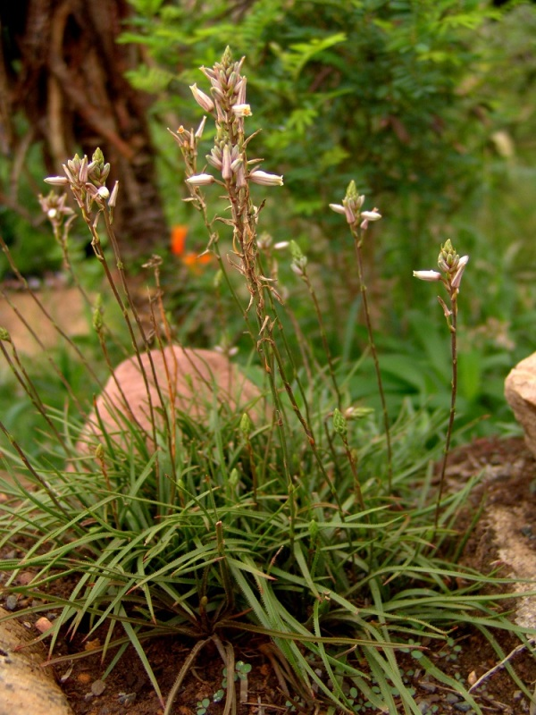 Aloe saundersiae