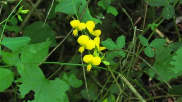 argyrolobium tomentosum (velvety yellow bush pea)