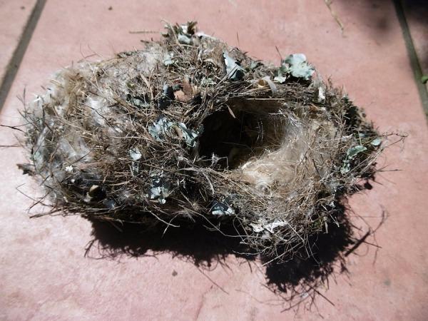 Bird Amethyst Sunbird nest P1030067