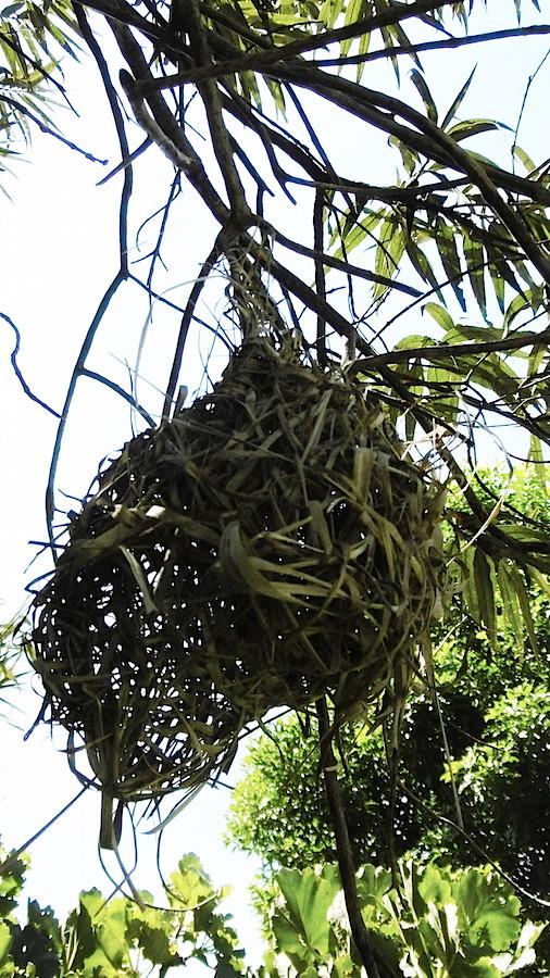 Bird Spectacled Weaver nest P1030066