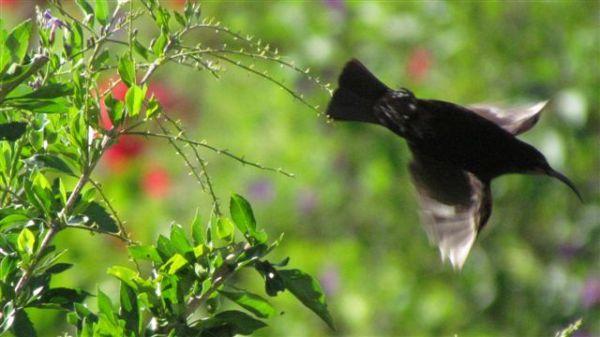 ♂ Amethyst Sunbird in flight